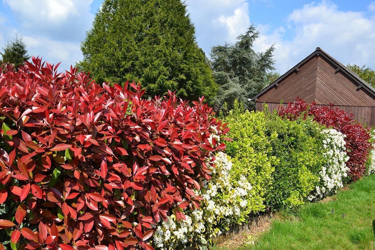 Heckenpflanzen als Alternative zum Buchsbaum