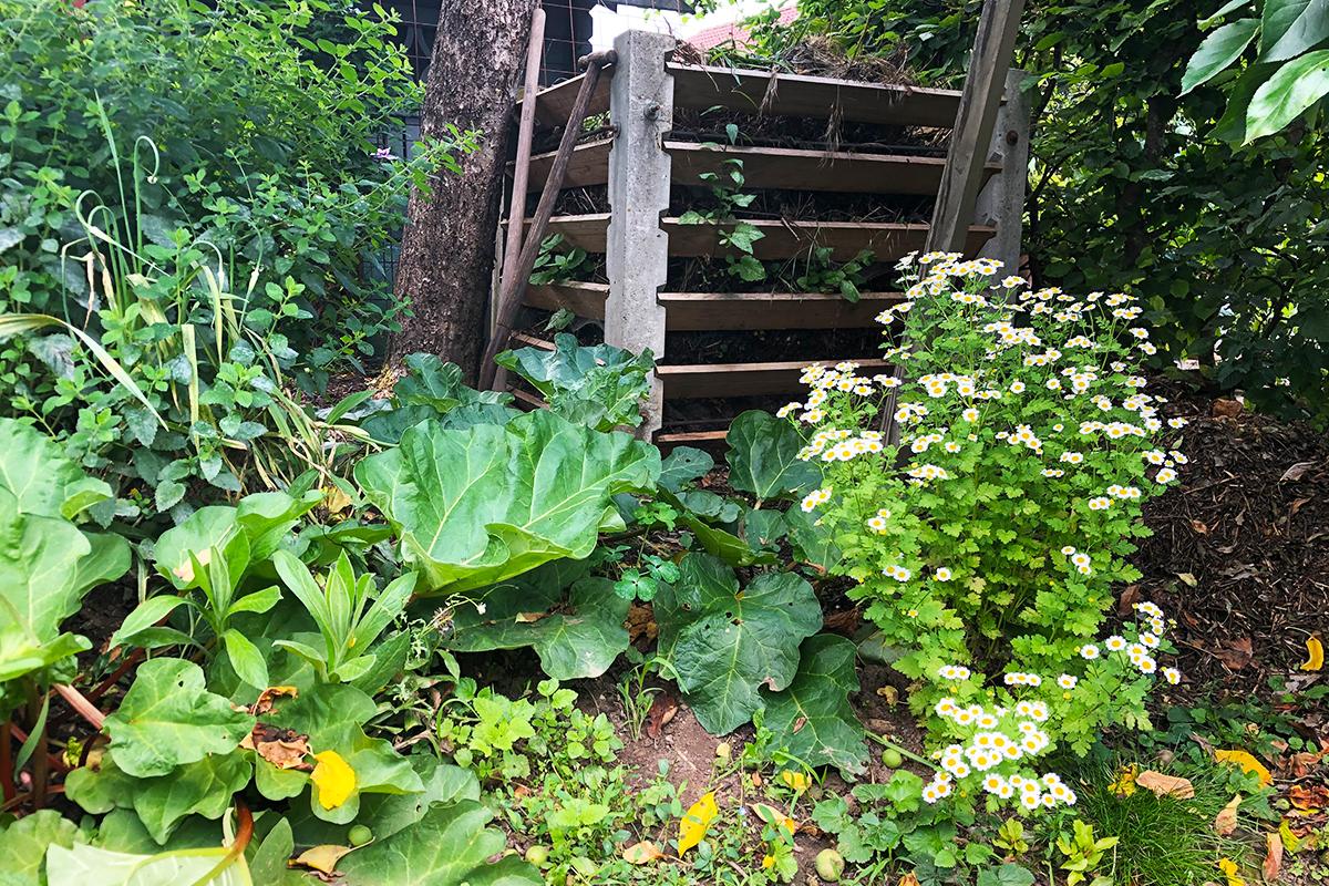 Kompost mit Mutterkraut im Naturgarten