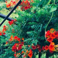 naturgarten-trompetenblume