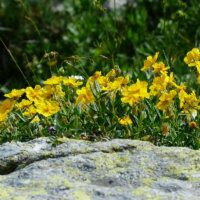 staudengarten-alpen-sonnenroeschen