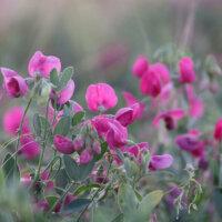 staudengarten-wicken-pink