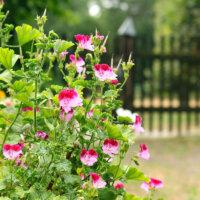 landhausgarten_rosafarbene_staude