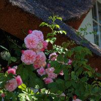 landhausgarten_rosenbusch_rosa