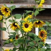 landhausgarten_sonnenblumen