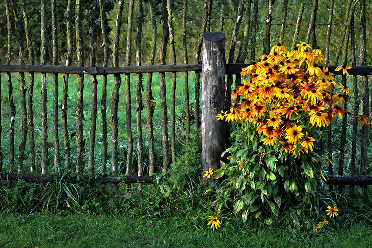 Sonnenhut und Staketenzaun im Landhausgarten