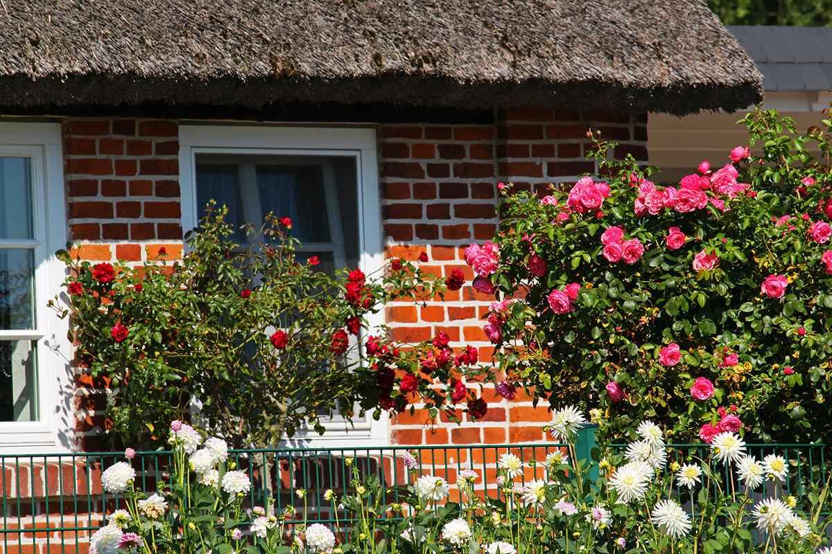 Landhausgarten-Stil im Vorgarten mit üppigen Rosenbüschen