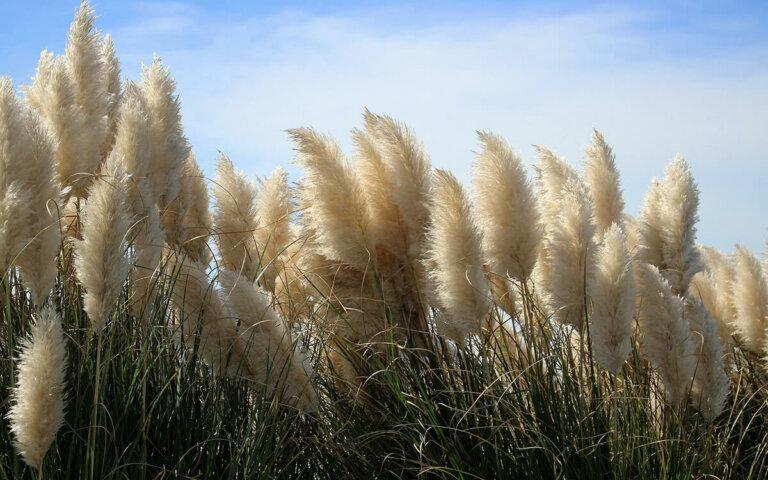 Pampasgras kaufen  pflanzen  pflegen & düngen ▷ Top-5 Sorten