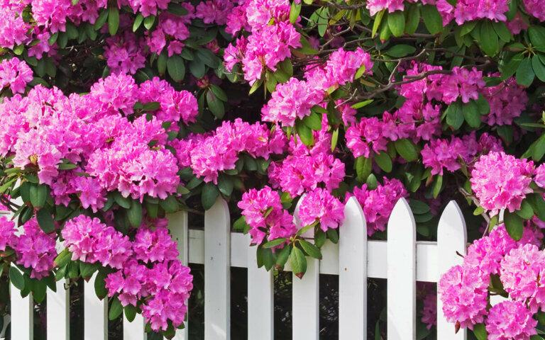 Rhododendron pflanzen  pflegen & schneiden ▷ Top-7 Sorten