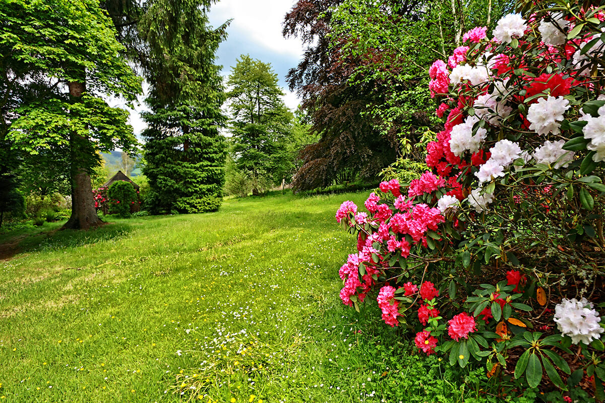 Rhododendron im englischen Garten. © Julietart - Depositphotos.com