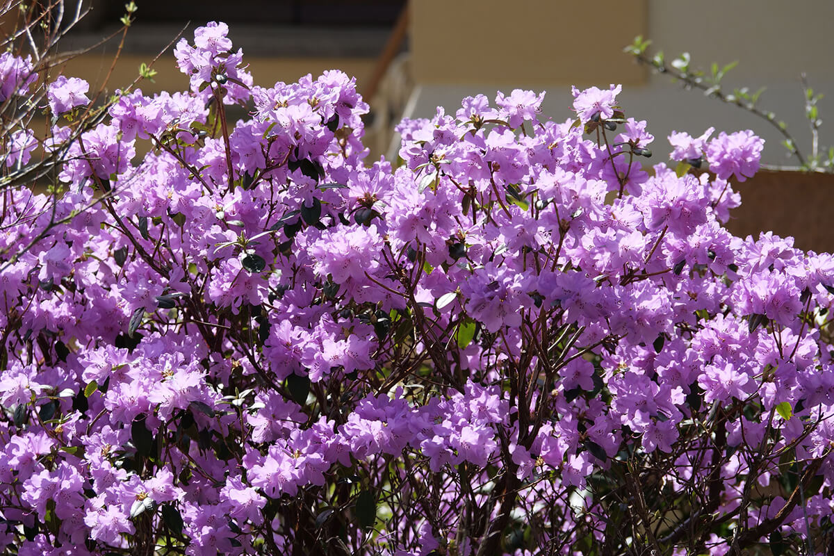 Rhododendron in Helllila