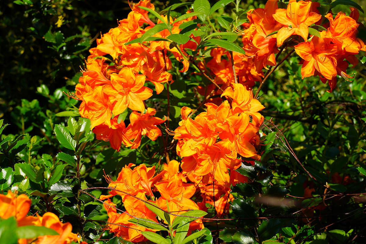 Rhododendron in Orange