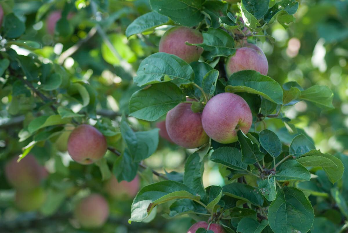 Gemüsebeet Apfelbaum