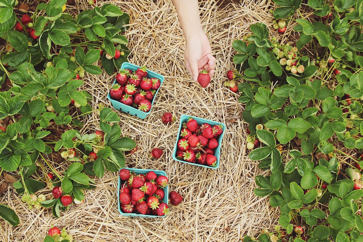 Gemüsebeet Erdbeeren