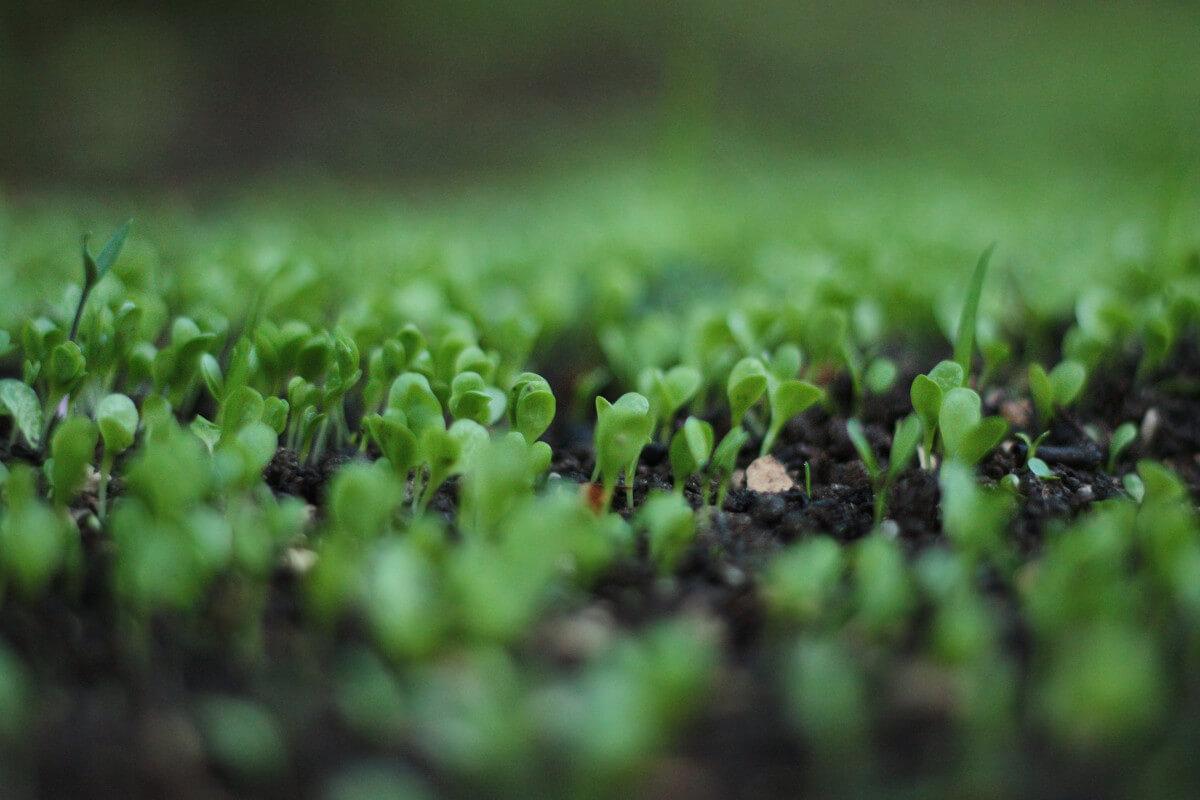 Gemüsebeet Sprösslinge
