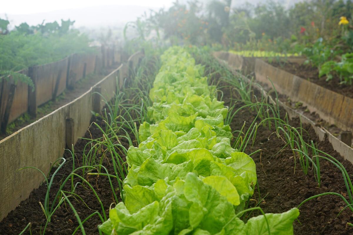 Gemüsebeet Salat Schnittlauch