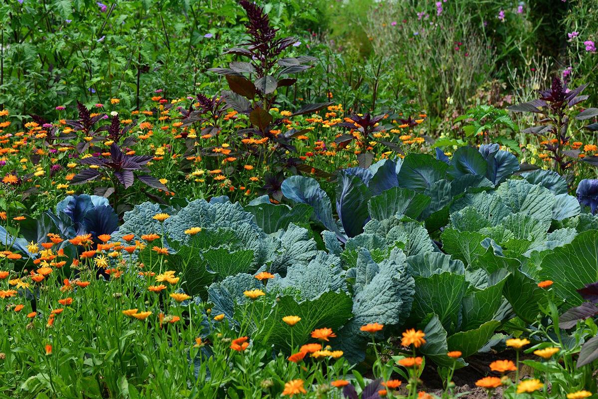 Gemüsebeet Kohl Ringelblumen