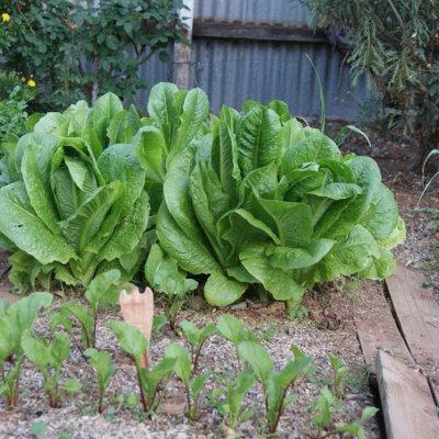 gemuesebeet_salat