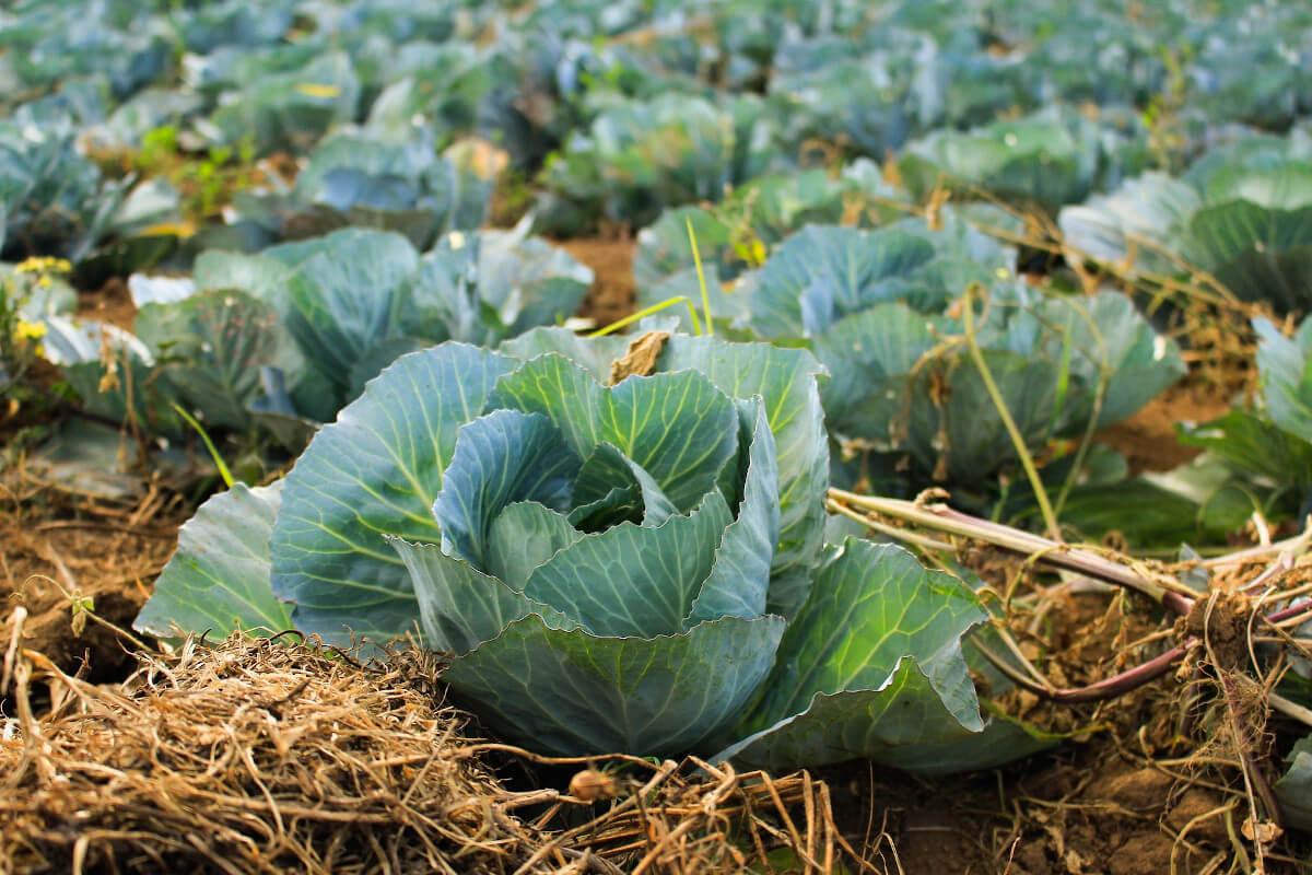 Gemüsebeet Kohl Stroh