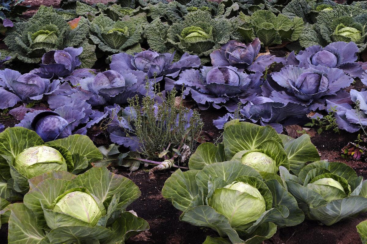 Gemüsebeet Wirsing Kohl