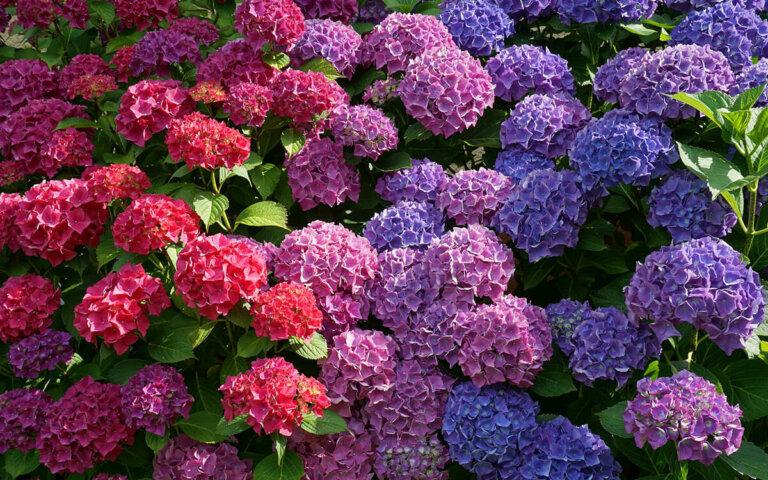 Hortensien pflanzen & pflegen – Arten & Farben im Überblick