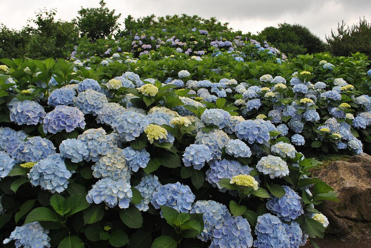 Bauernhortensie in Blau