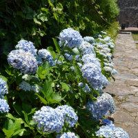 Hortensien am Gartenweg