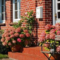 Hortensien im Kübel am Hauseingang