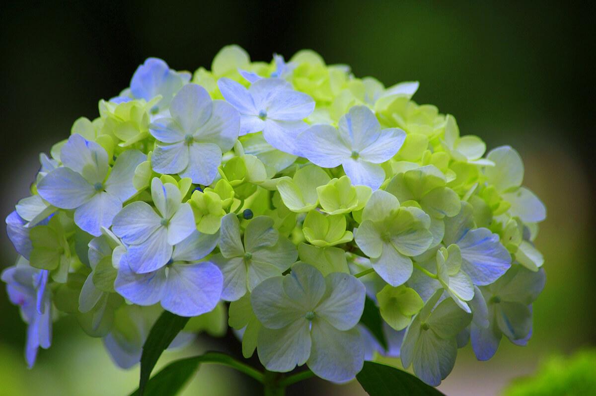 Hortensie in Grün und Blau