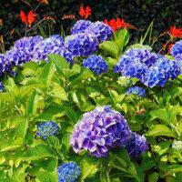 Hortensie in Blau