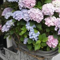 Hortensien in der Zinkwanne
