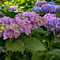 Hortensien in verschiedenen Nuancen von Blau und Lila