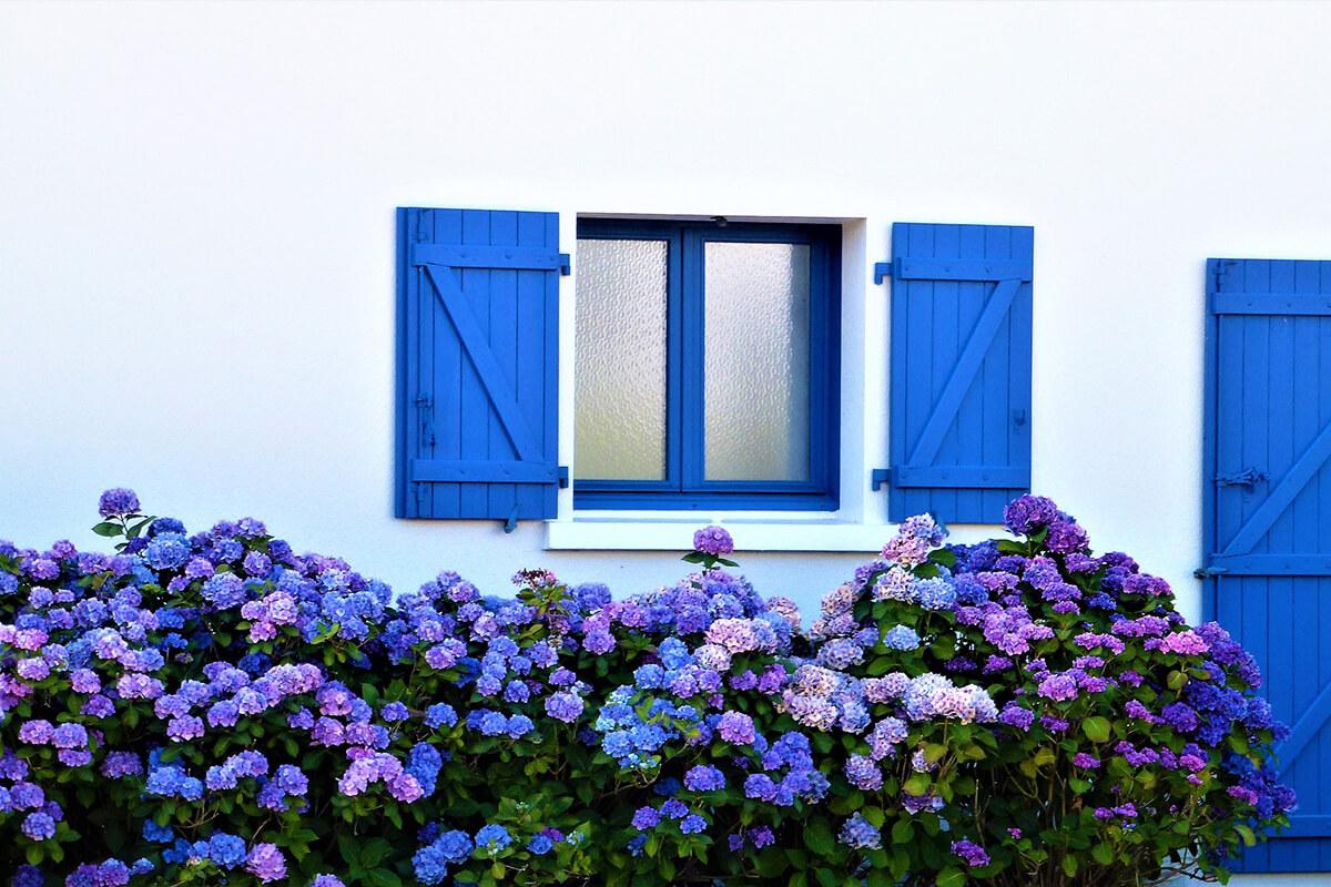 Blaue Hortensien an der Hauswand