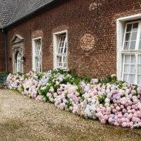 Üppig blühende Hortensien an der Hauswand