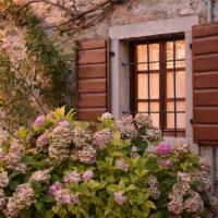Hortensiensträucher im romantischen Garten