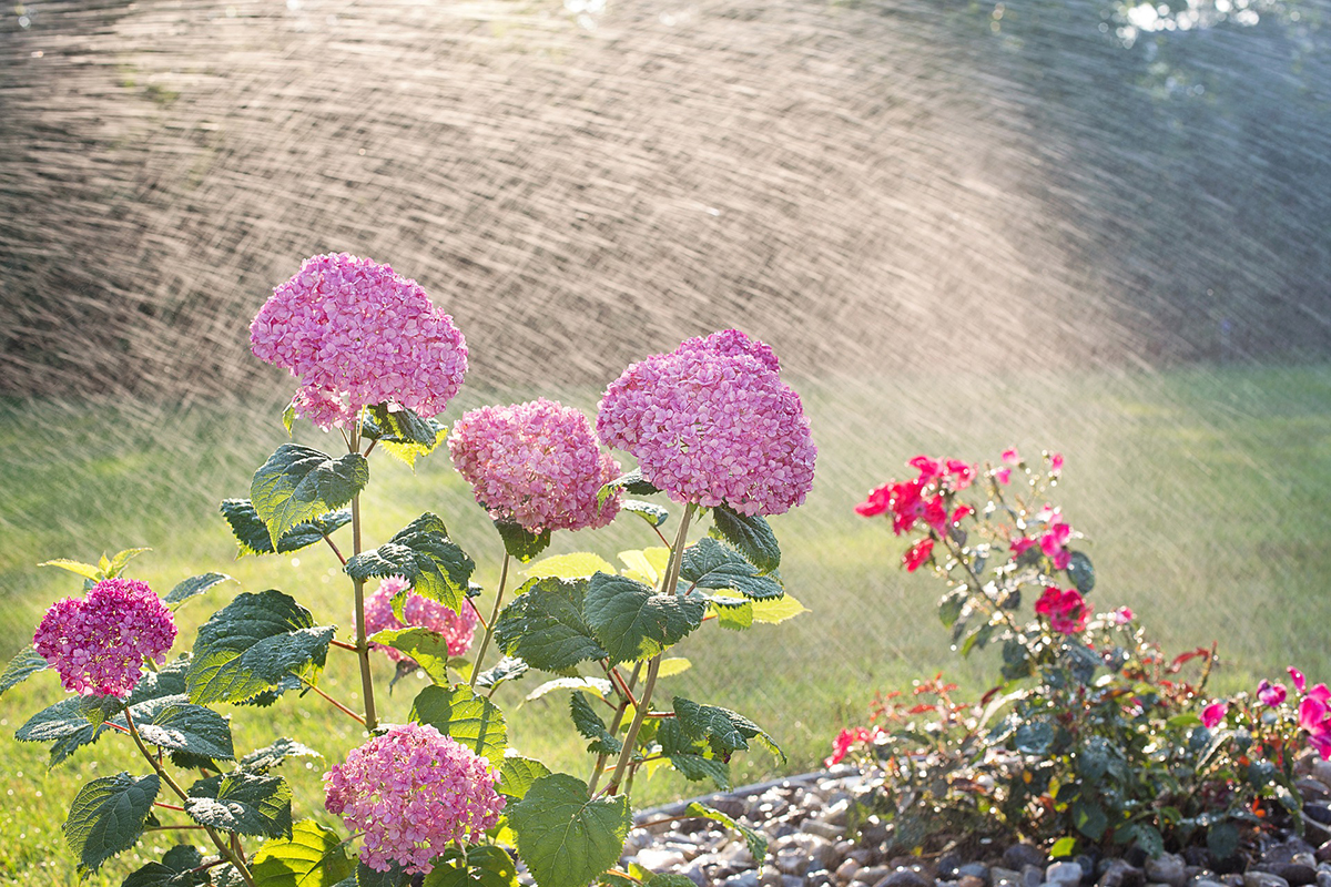Hortensien regelmäßig gießen