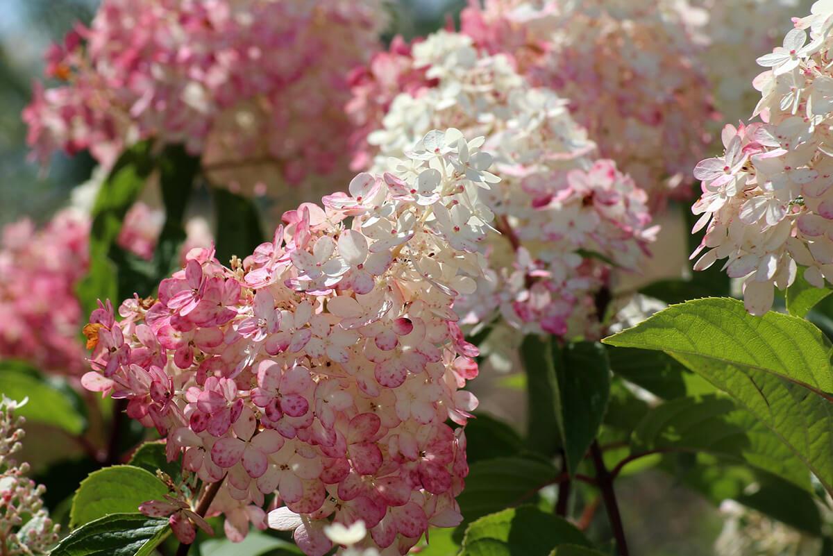 Hortensie zweifarbig Weiß und Rosa