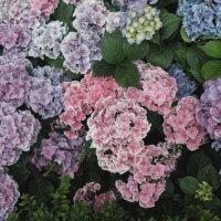 Hortensien in Violett und Blau