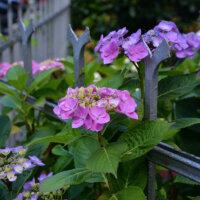 Hortensien in Kombination mit einem romantischen Eisenzaun