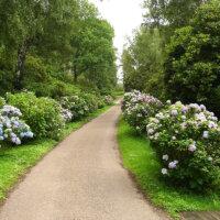 Hortensien ab Wegesrand