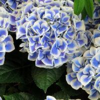 Hortensien in Weiß und Blau