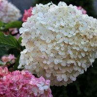 Hortensienblüten in Weiß