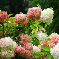 Rispenhortensie in Weiß und Rosa