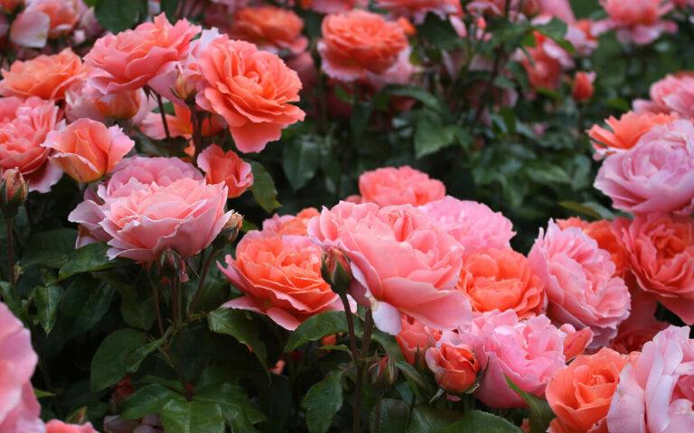Rosen-Arten pflegen ▷ richtig pflanzen  schneiden & düngen