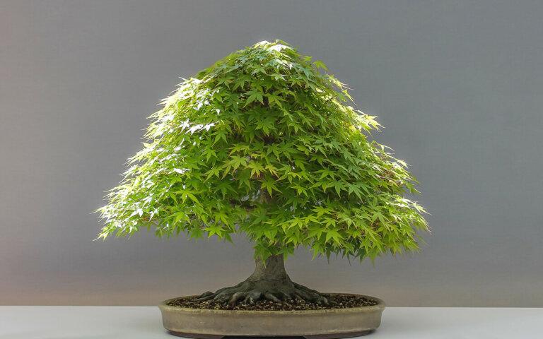Bonsai-Pflanzen züchten & pflegen ᐅ Garten & Zimmer