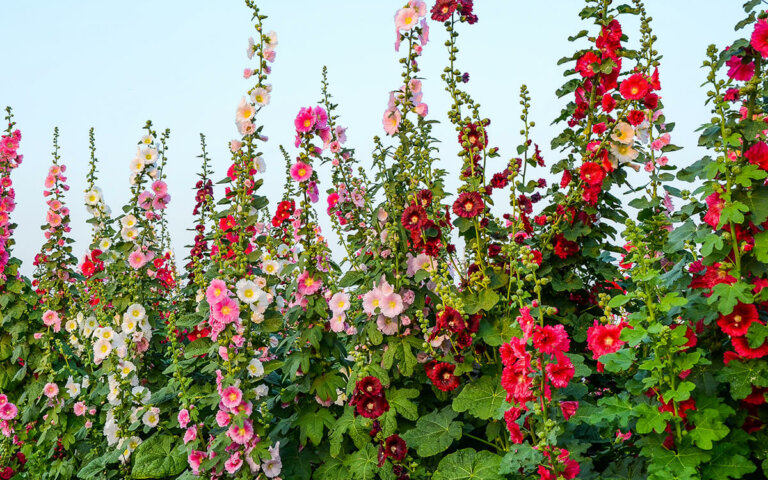 Stockrosen kaufen  pflanzen & pflegen ▷ Top 8 Arten & Sorten