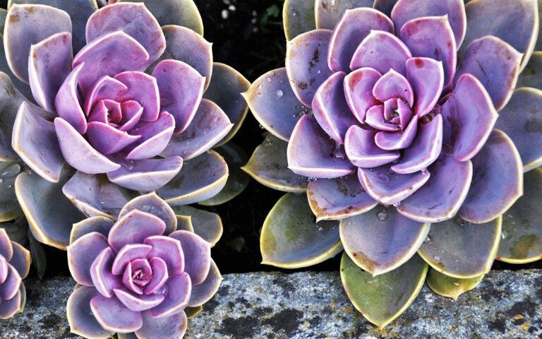 Sukkulenten-Arten ▷ kaufen  vermehren  pflegen & pflanzen