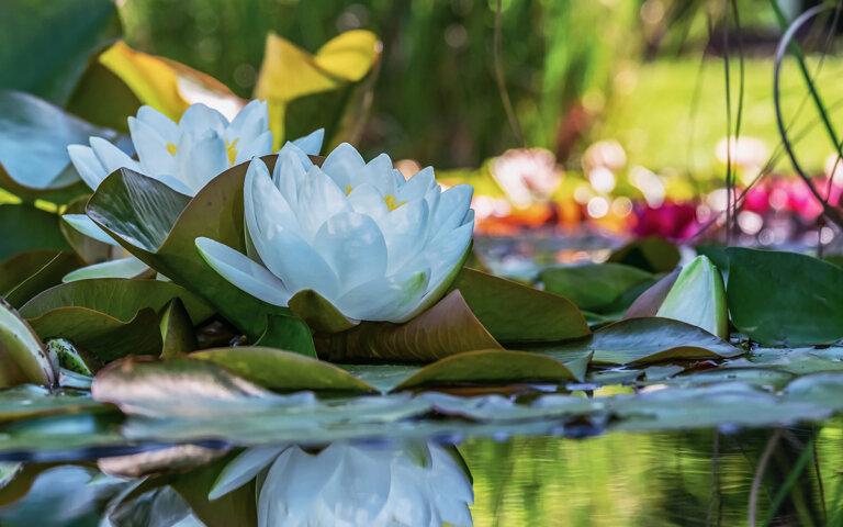 Teichpflanzen pflanzen & pflegen ▷ Top 50 Wasserpflanzen