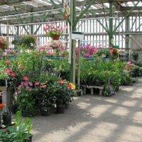 Oleander im Gartencenter oder Baumarkt