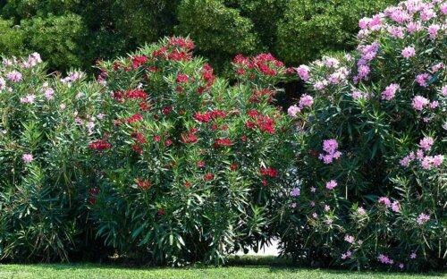Oleander schneiden & überwintern ▷ Tipps zum Kaufen  Vermehren & Pflegen