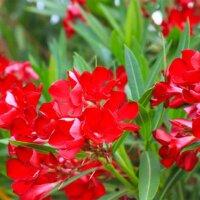 Blüten des Oleanders in Rot